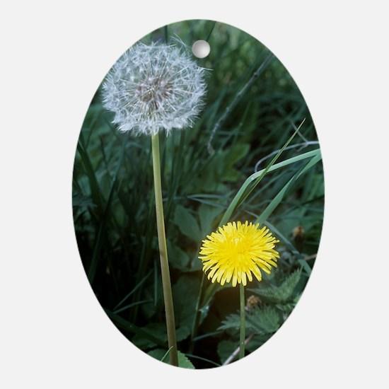 Dandelion (Taraxacum officinale) Oval Ornament
