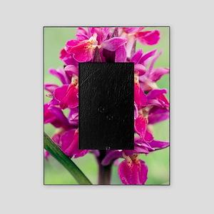 Dactylorhiza sambucina orchid Picture Frame