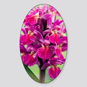 Dactylorhiza sambucina orchid Sticker (Oval)