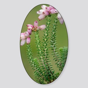 Cross-leaved heath (Erica tetralix) Sticker (Oval)