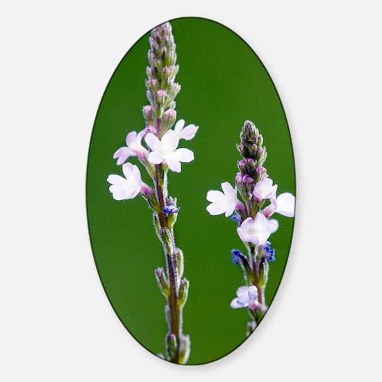 Common vervain (Verbena officinalis Sticker (Oval)