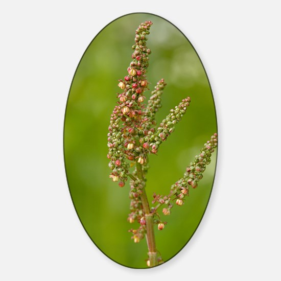 Common sorrel (Rumex acetosa) Sticker (Oval)