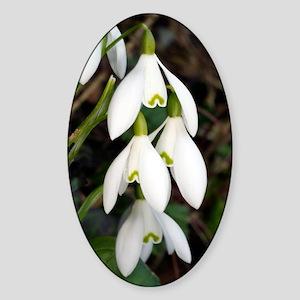 Common snowdrops (Galanthus nivalis Sticker (Oval)