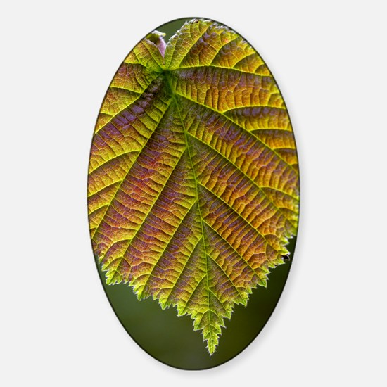 Common hazel leaf Sticker (Oval)