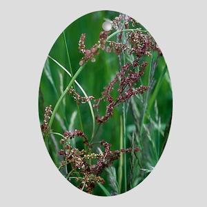 Common sorrel (Rumex acetosa) Oval Ornament