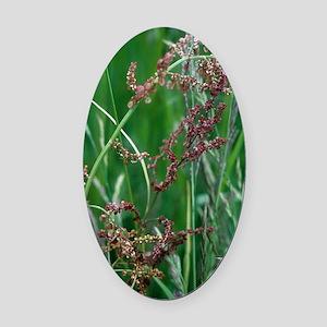 Common sorrel (Rumex acetosa) Oval Car Magnet