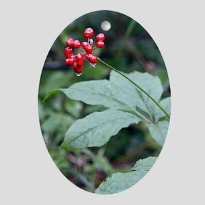 Chinese ginseng (Panax ginseng) Oval Ornament