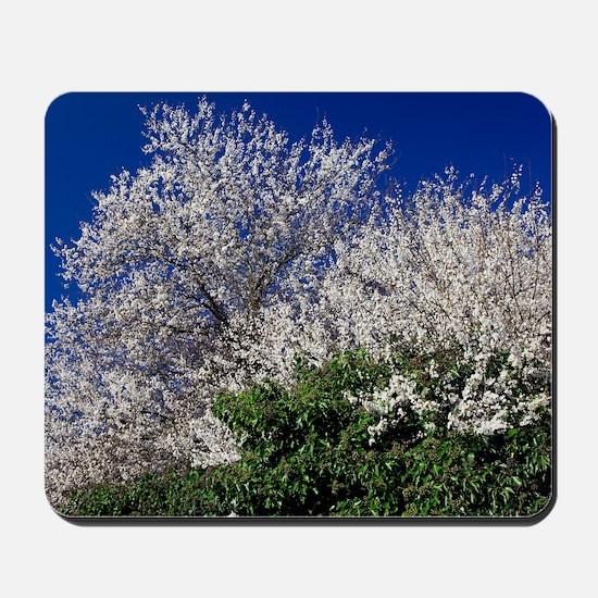 Cherry tree (Prunus sp.) Mousepad
