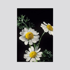 Chamomile flowers Rectangle Magnet