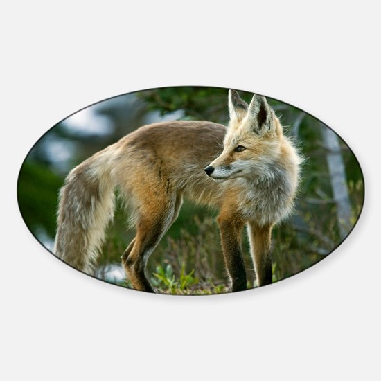 Cascade red fox Sticker (Oval)