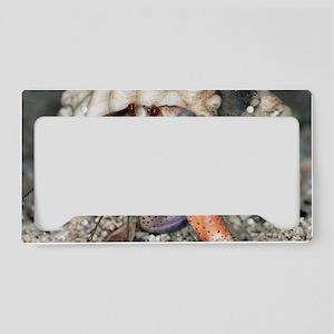 Caribbean hermit crab License Plate Holder