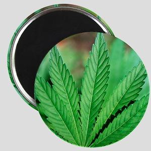 Cannabis leaves Magnet