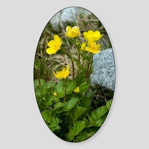 Alpine Avens (Geum montanum) Sticker (Oval)