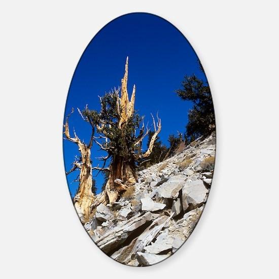 Bristlecone pine trees Sticker (Oval)