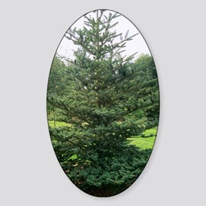 Bhutan fir (Abies densa) Sticker (Oval)
