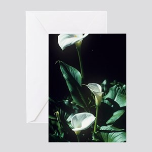 Arum lily flowers Greeting Card