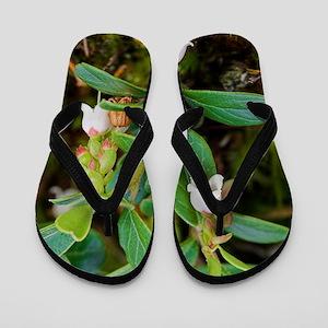 Arctostaphylos uva-ursi Flip Flops