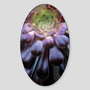Aeonium arboreum Sticker (Oval)