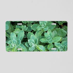 Showy stonecrop (Sedum spec Aluminum License Plate
