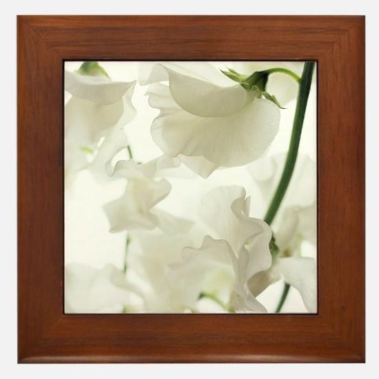 Sweet pea (Lathyrus odoratus) Framed Tile
