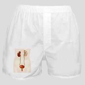 Urinary system, artwork Boxer Shorts