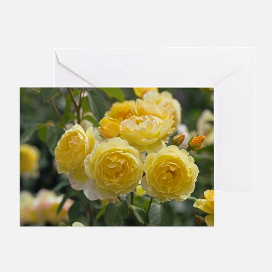 Rose (Rosa 'Charlotte Auspoly') Greeting Card
