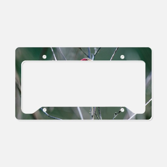 Redpoll License Plate Holder
