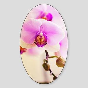 Phalaenopsis Hinamatsuri 'Blushing  Sticker (Oval)