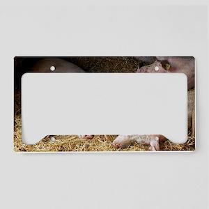 Sleeping pigs License Plate Holder
