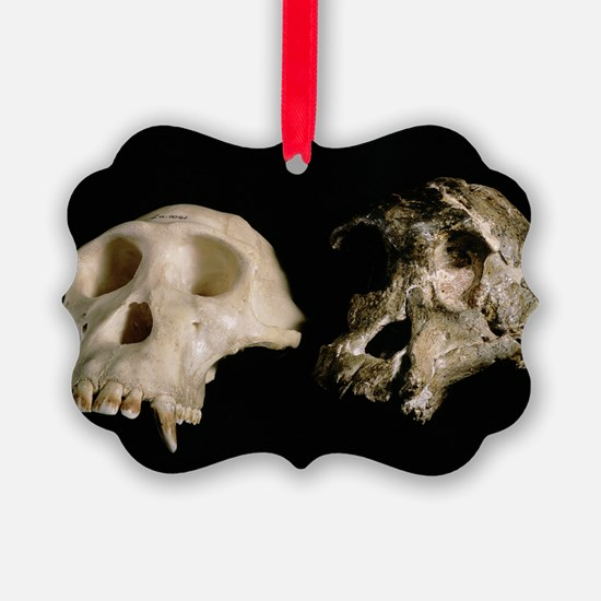 Skulls of A. africanus and a chim Ornament