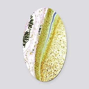 Developing tooth, light micrograph Oval Car Magnet