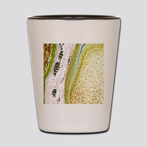 Developing tooth, light micrograph Shot Glass
