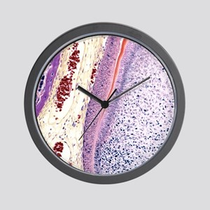 Developing tooth, light micrograph Wall Clock