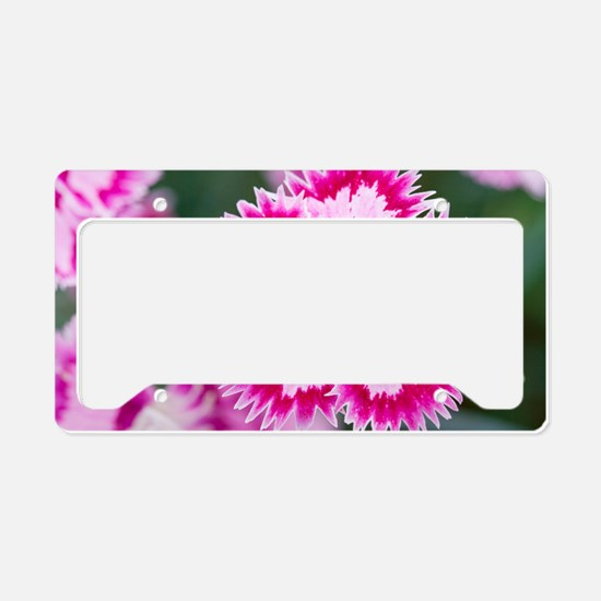 Dianthus Cranberry Ice License Plate Holder