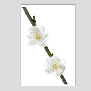Cherry blossom (Prunus sp Postcards (Package of 8)