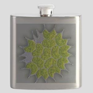 Pediastrum green algae, light micrograph Flask
