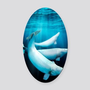 Beluga whales, artwork Oval Car Magnet