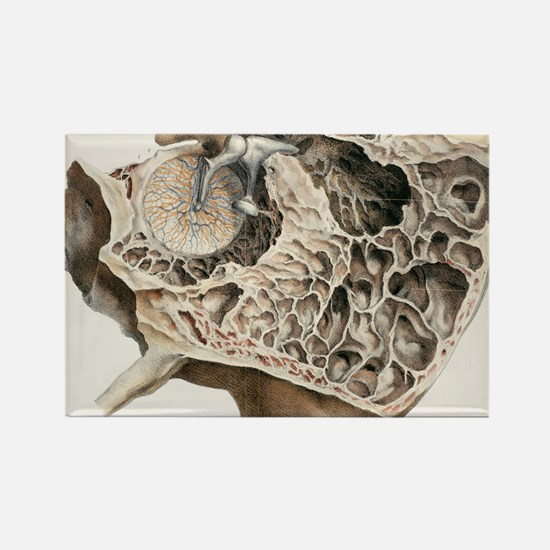 Middle ear anatomy, 1844 artwork Rectangle Magnet