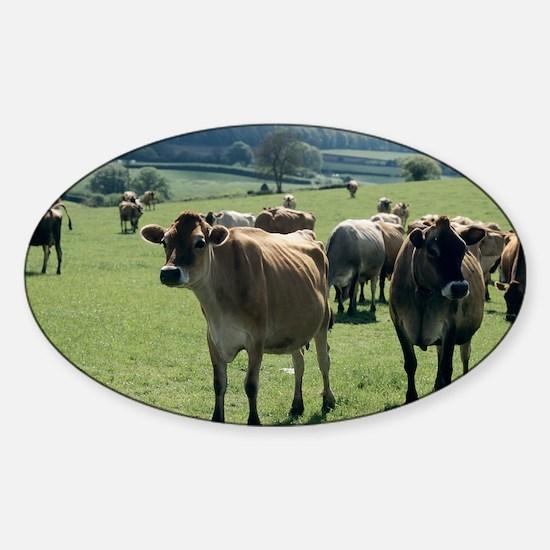 Jersey cows Sticker (Oval)