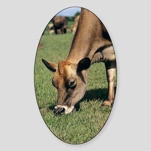 Jersey cow Sticker (Oval)