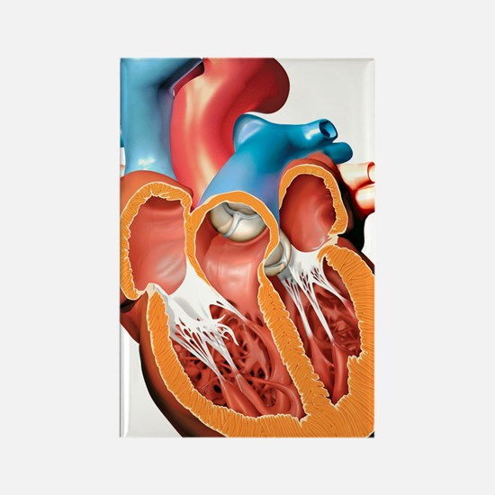 Human heart anatomy, artwork Rectangle Magnet