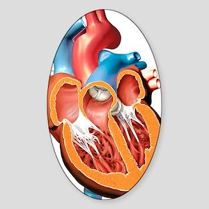 Human heart anatomy, artwork Sticker (Oval)