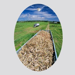 Harvesting sugar cane Oval Ornament