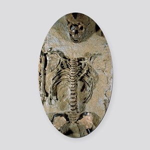 Fossilised skeleton of Homo erectu Oval Car Magnet