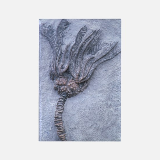 Fossil crinoid or sea lily Rectangle Magnet
