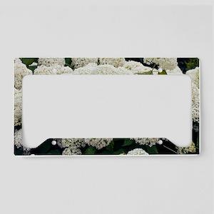 Hydrangea arborescens 'Annabe License Plate Holder