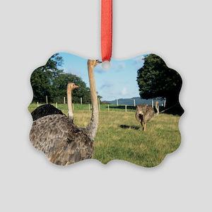 Farmed ostriches Picture Ornament