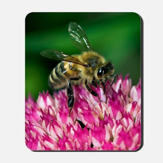 Honey bee feeding on Sedum flowers Mousepad