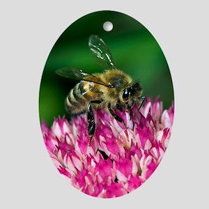 Honey bee feeding on Sedum flowers Oval Ornament