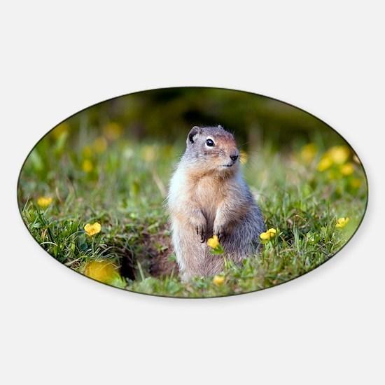 Hoary marmots Sticker (Oval)